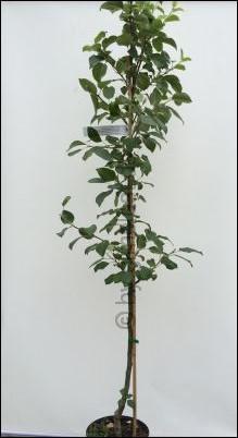 Apfelbaum kleinwüchsig