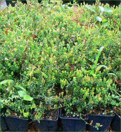 10 cranberry pflanzen gro fr chte moosbeere stevens. Black Bedroom Furniture Sets. Home Design Ideas
