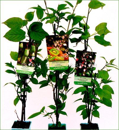 sommerkiwi 3 pflanzen set sibirische kiwi actinidia. Black Bedroom Furniture Sets. Home Design Ideas