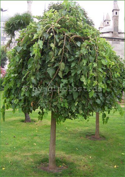 morus alba weisser maulbeerbaum obstbaum leckere. Black Bedroom Furniture Sets. Home Design Ideas