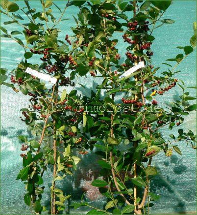 2 aronia pflanzen apfelbeeren ca 140 cm aron nero. Black Bedroom Furniture Sets. Home Design Ideas