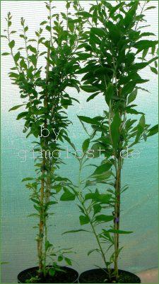 2 goji beere pflanzen 2 sorten set big sweet china selektion frucht 2012 ebay. Black Bedroom Furniture Sets. Home Design Ideas