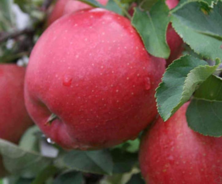 Apfelbaum Katja