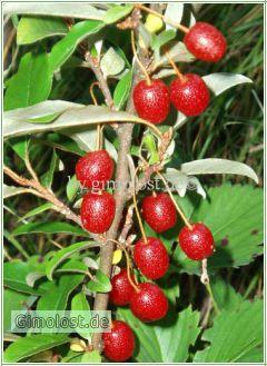 Goumi Beeren Sweet Scarlet 60 cm.