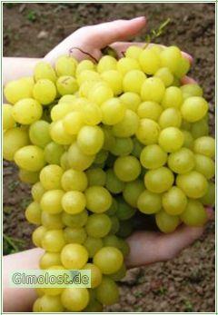 Weintraube Millennium