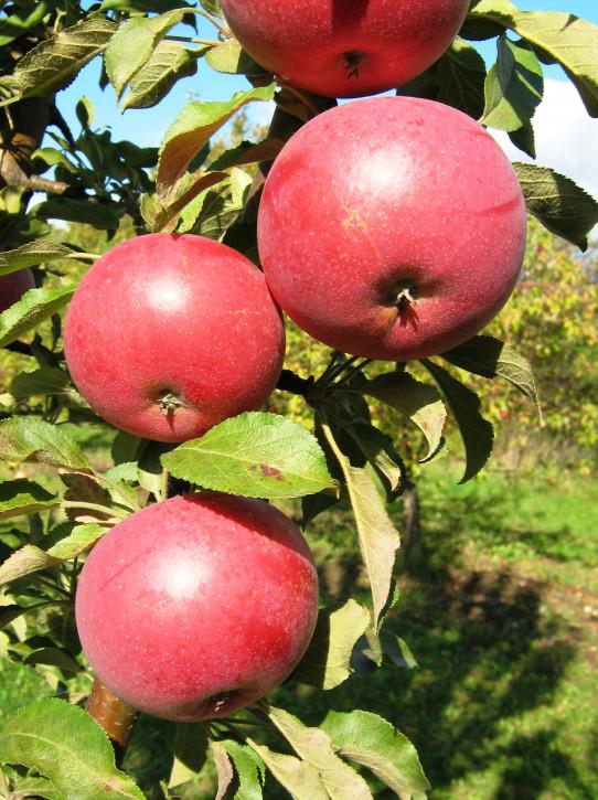 """Säulen  Äpfel """"ANDA"""""""