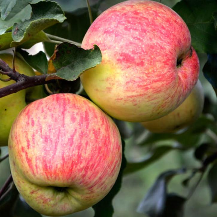 Apfelbaum Borowinka
