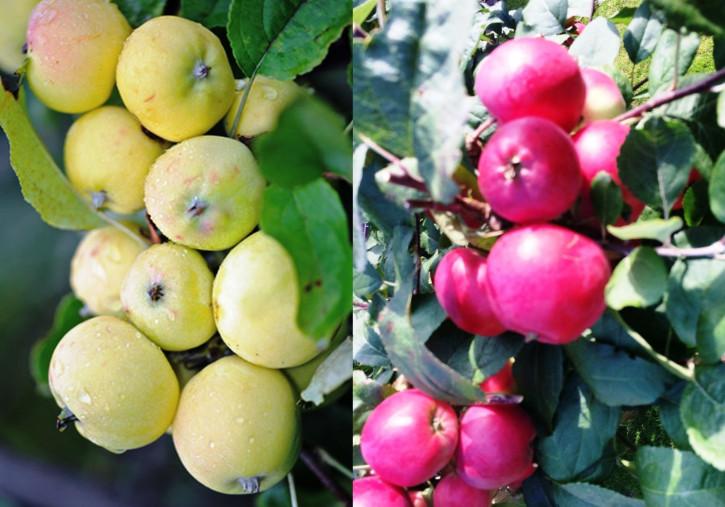 Двухсортовая Яблоня Китайка желтая + Китайка Красная