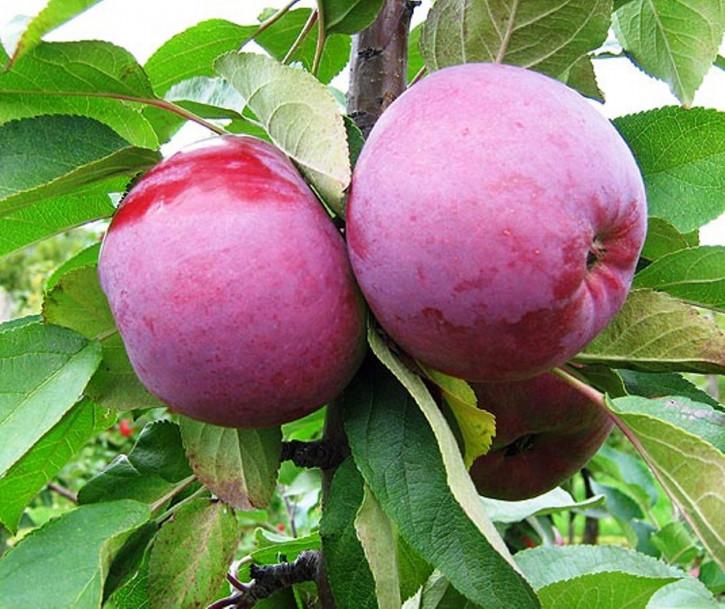 """Säulen  Äpfel """"GATIS"""""""