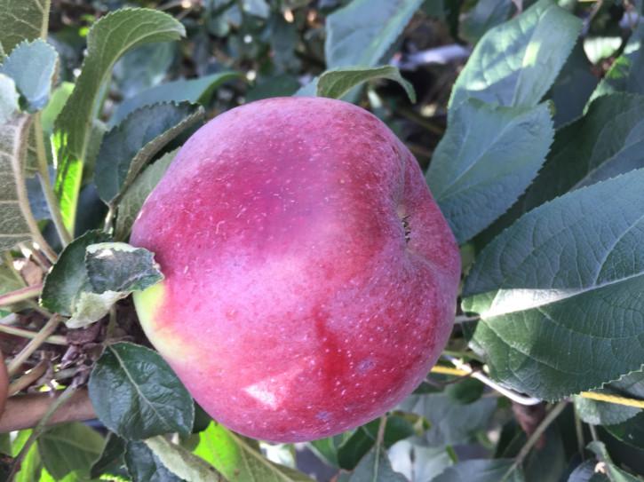 Apfelbaum Kovalenkovskoe