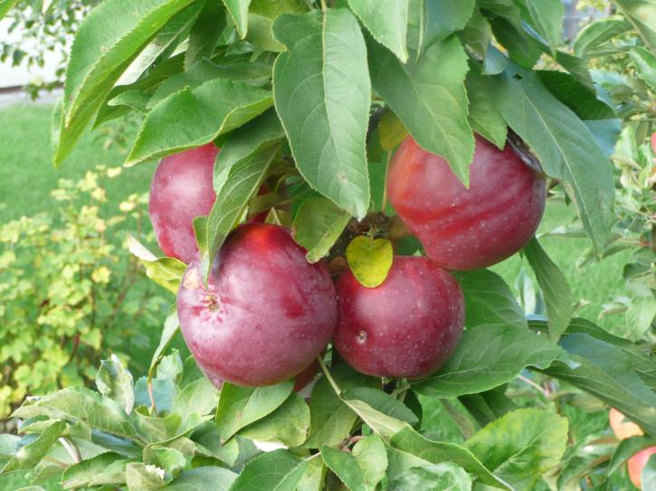 """Säulen  Herbst Äpfel """"INESE"""" ®"""