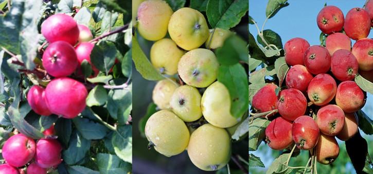 Familienapfelbaum Trio Apfelbaum Kitajka