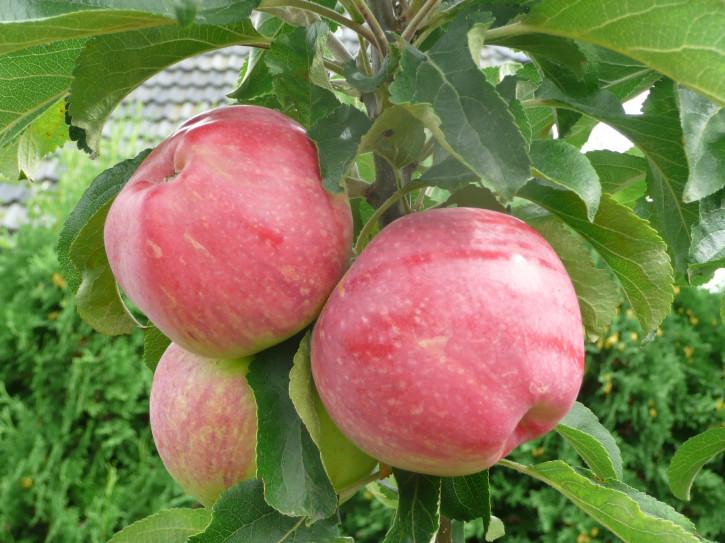 """Säulen Sommer Äpfel """"ULDIS"""" ®"""