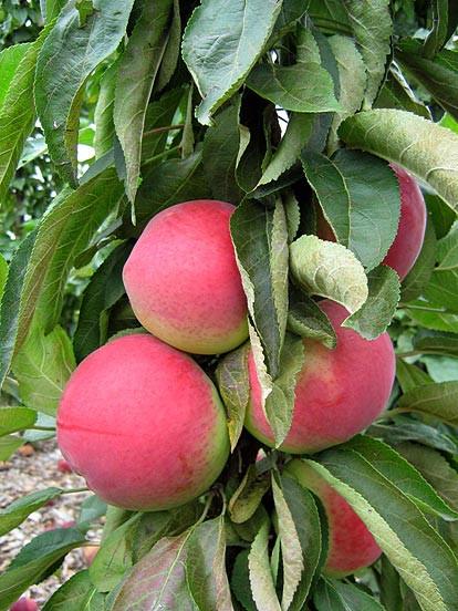 """Säulen Sommer Äpfel """"SANE"""""""