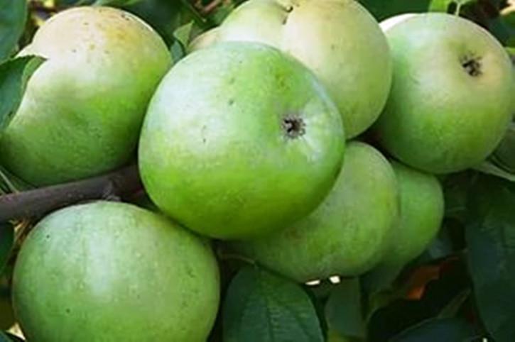 "Apfel ""Simirenko"""