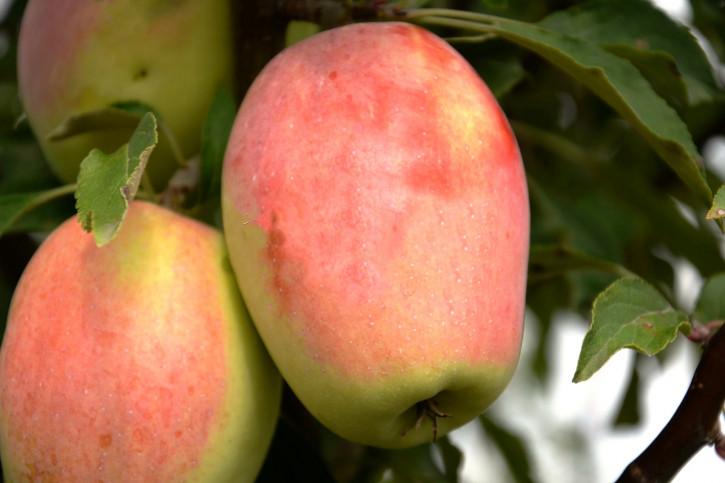Apfel Candil Sinap