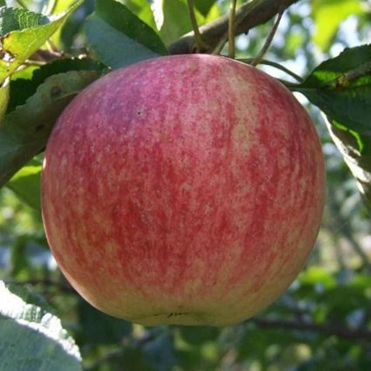 "Apfel ""Stolowka"""