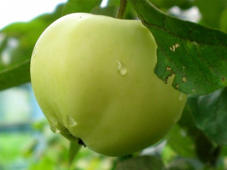 Apfel Belij Naliv