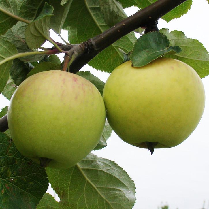 Apfel Beloe Astrachanskoe