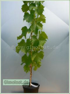 """Weinrebe""""Kyoho"""".(Vitis vinifera)"""