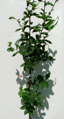 Mispel (Mushmula)